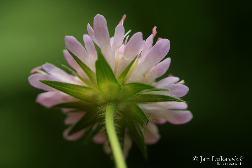 Chrastavec křovištní (Knautia drymeia)
